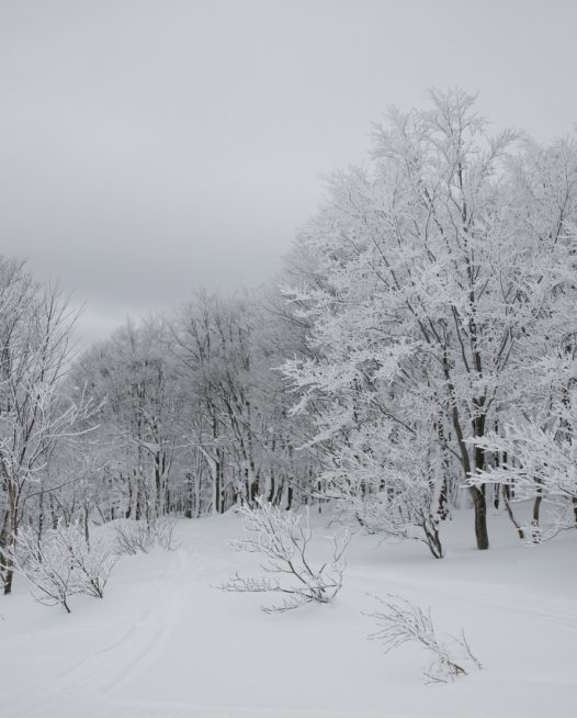 A photographic image of A forest of trees in soft snow